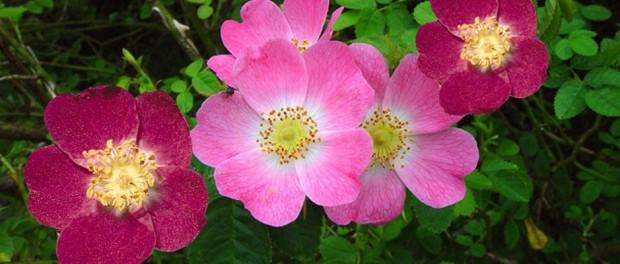 Beneficios de la rosa mosqueta